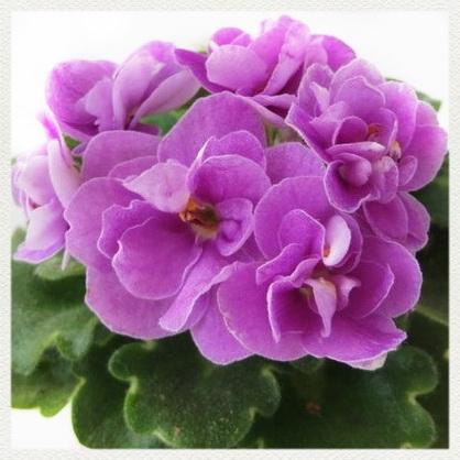 Сиренево розовые цветы 16
